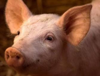 """Científicos """"resucitaron"""" cerebros de cerdos 4 horas después de muertos"""